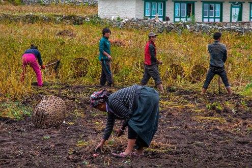 Un grupo de personas recoge papas en Khumjung.